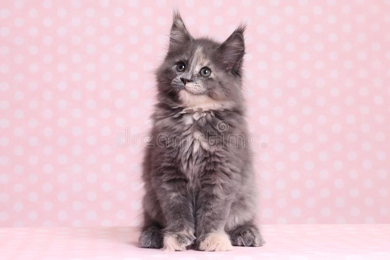 gullig kattunge maine för coon royaltyfria bilder