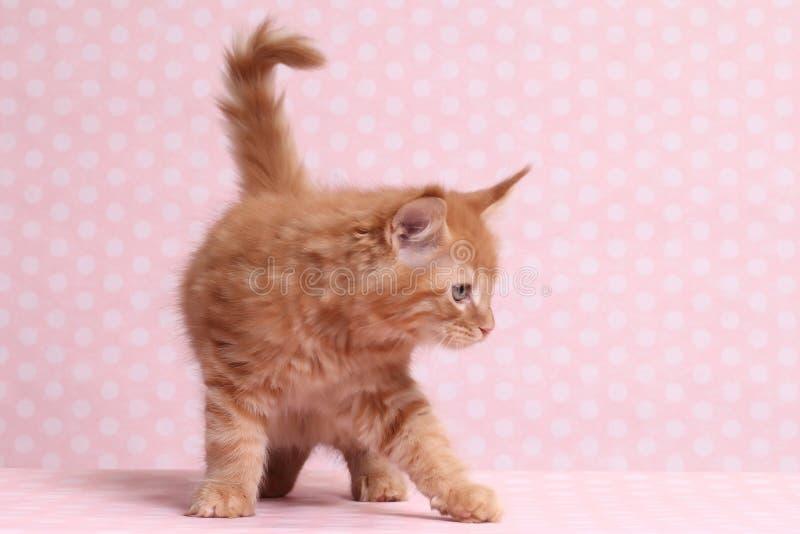 gullig kattunge maine för coon arkivfoto