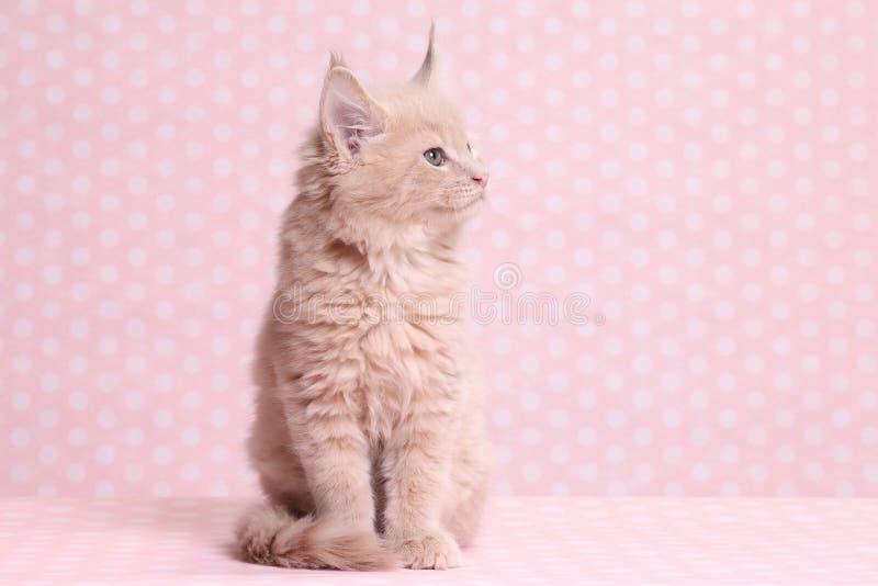 gullig kattunge maine för coon royaltyfri foto