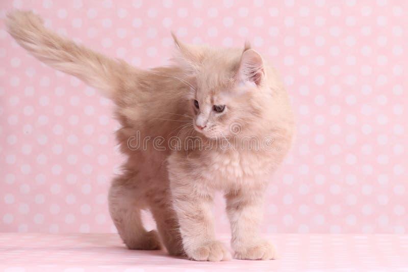 gullig kattunge maine för coon arkivbild