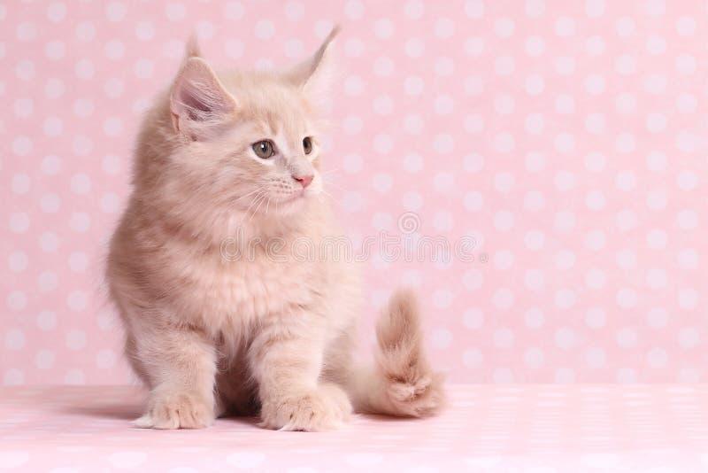 gullig kattunge maine för coon fotografering för bildbyråer