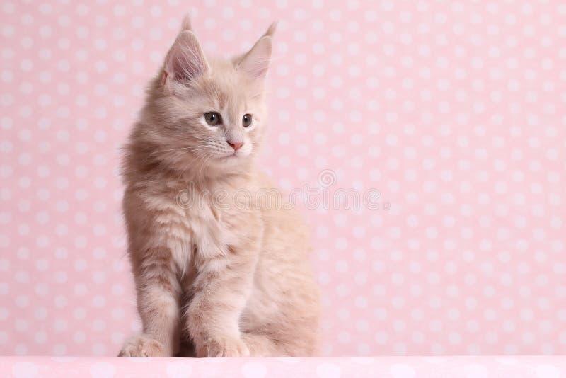 gullig kattunge maine för coon royaltyfri bild