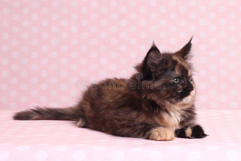 gullig kattunge maine för coon arkivbilder