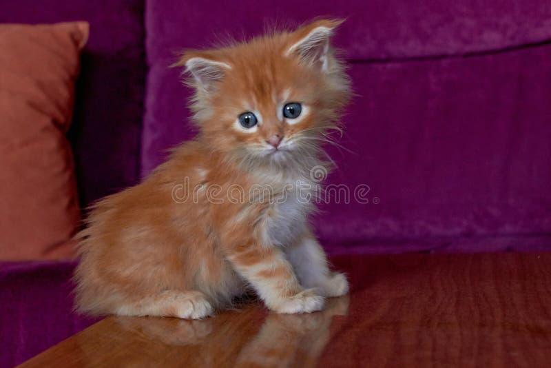gullig kattunge maine f?r coon royaltyfri fotografi