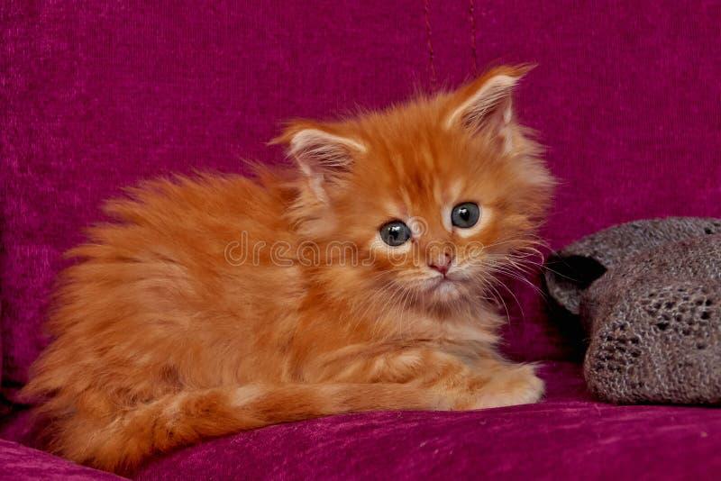 gullig kattunge maine f?r coon royaltyfria foton