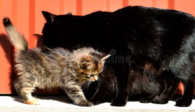 Gullig kattunge- och moderkatt royaltyfria foton