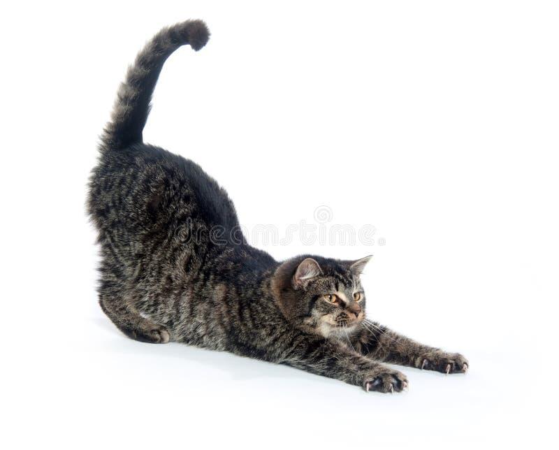 gullig kattunge som sträcker tabbyen royaltyfri foto