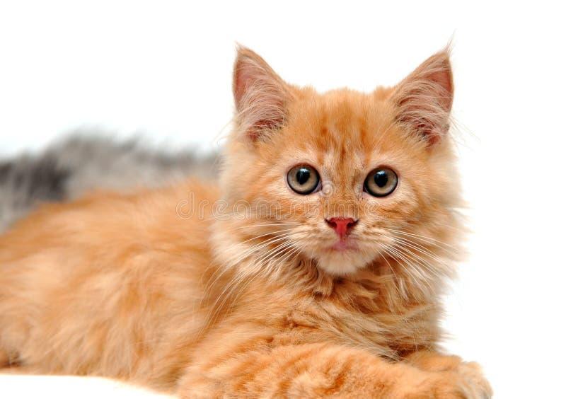 gullig kattungeorange royaltyfri bild