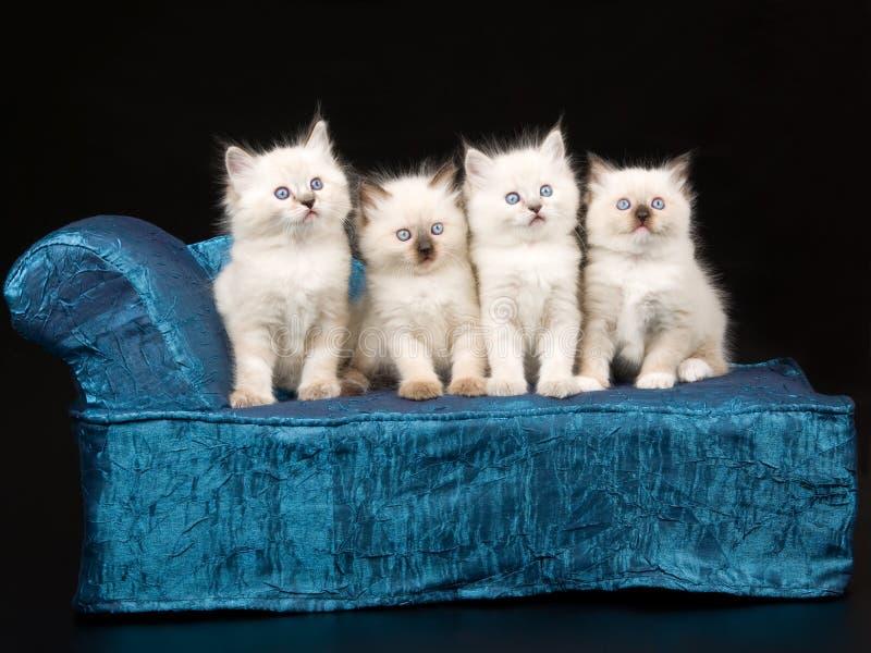 gullig kattungeragdoll för blå chaise fotografering för bildbyråer