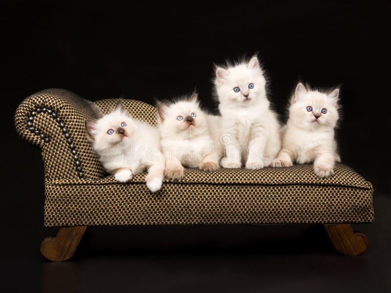 gullig kattungeragdoll för brun chaise arkivbilder