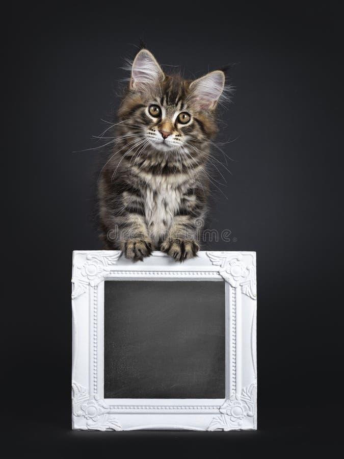 Gullig klassisk svart kattunge för strimmig kattMaine Coon katt på svart bakgrund arkivbilder