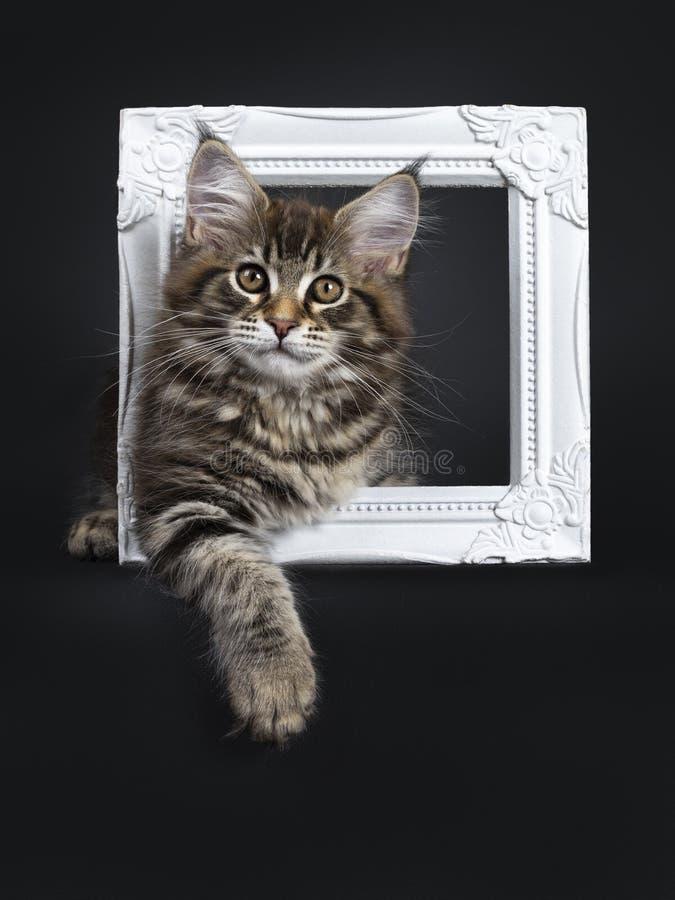 Gullig klassisk svart kattunge för strimmig kattMaine Coon katt på svart bakgrund royaltyfri bild