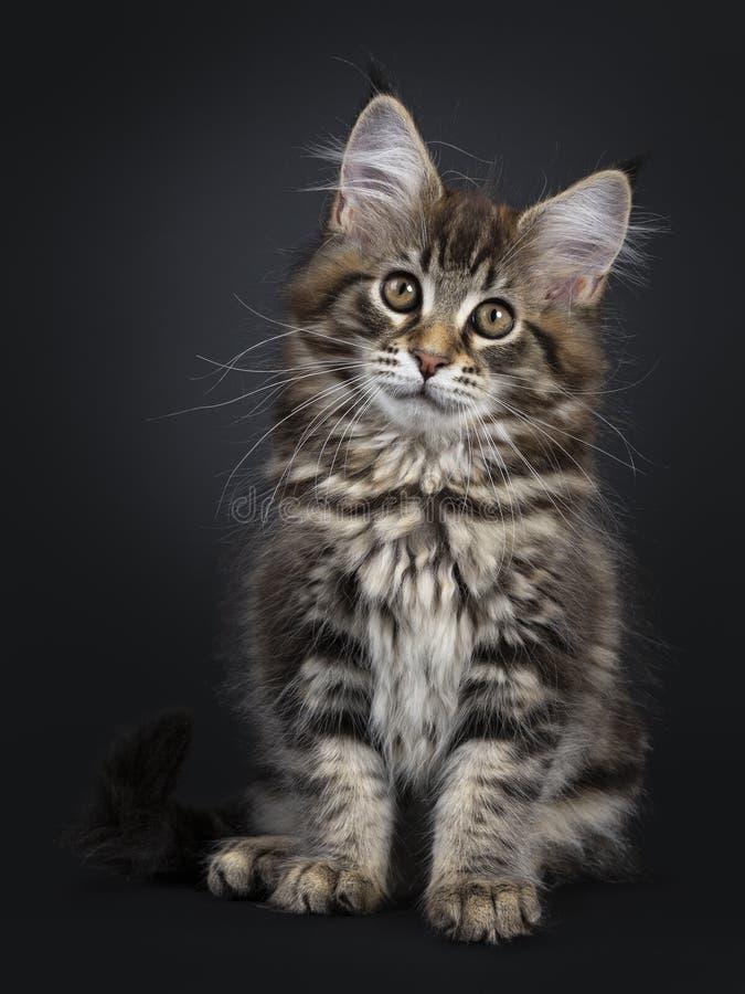 Gullig klassisk svart kattunge för strimmig kattMaine Coon katt på svart bakgrund arkivfoto