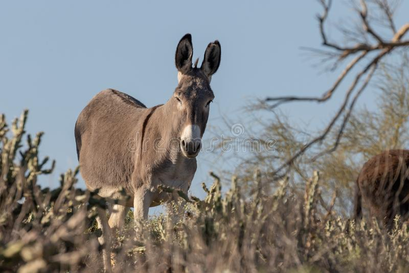 Gullig lös Burro i den Arizona öknen royaltyfri fotografi
