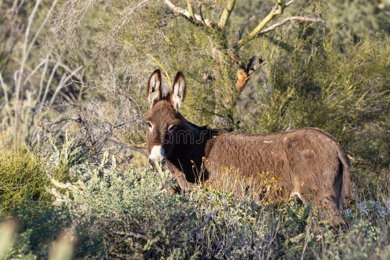 Gullig lös Burro i den Arizona öknen arkivbild