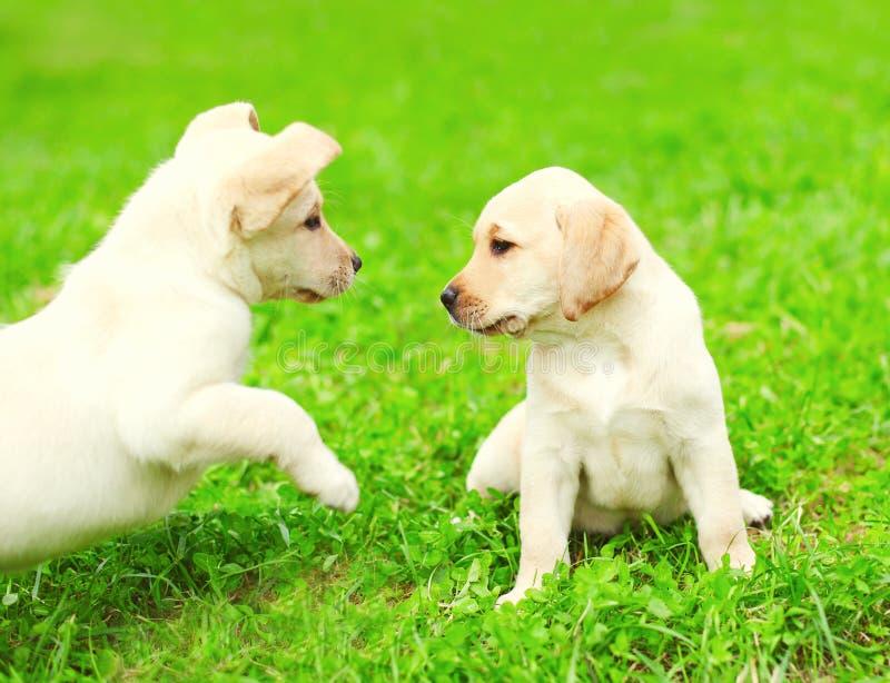 Gullig labrador för två valphundkapplöpning som tillsammans spelar royaltyfri bild