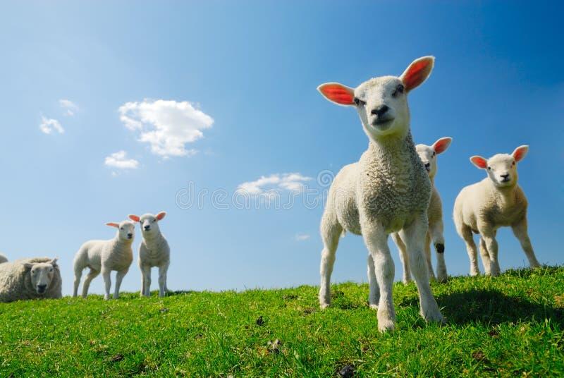 gullig lambsfjäder fotografering för bildbyråer