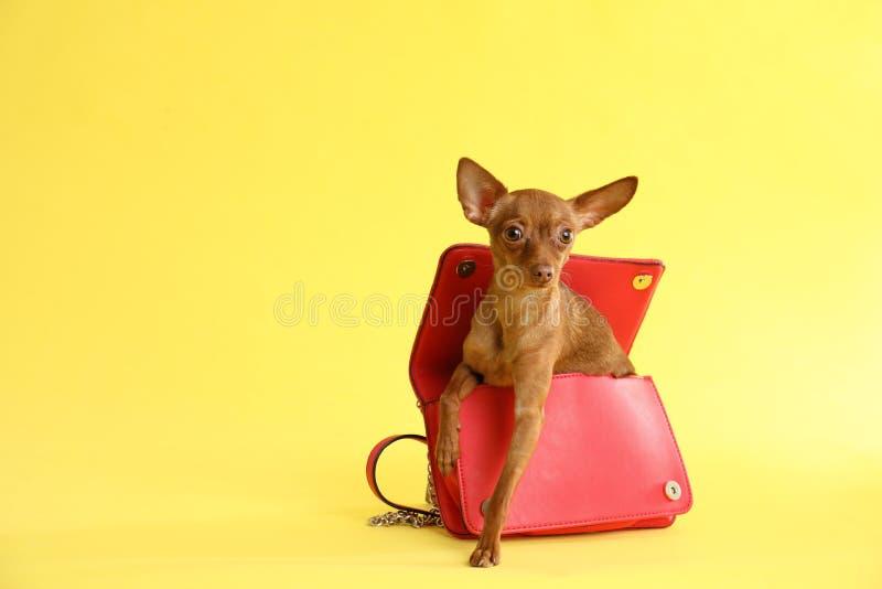 Gullig leksakterrier i kvinnlig handväska på färgbakgrund, utrymme för text hemhjälp kazakhstan för skällalandshund royaltyfri fotografi