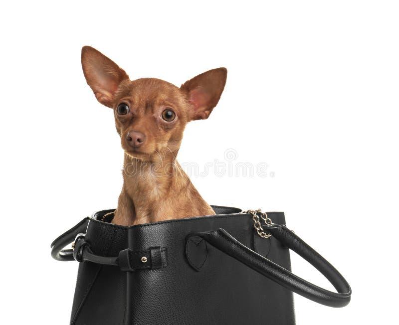 Gullig leksakterrier i kvinnlig handväska på vit hemhjälp kazakhstan för skällalandshund royaltyfria bilder