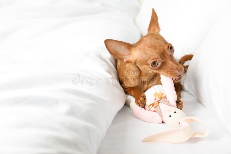 Gullig leksakterrier på säng royaltyfri fotografi