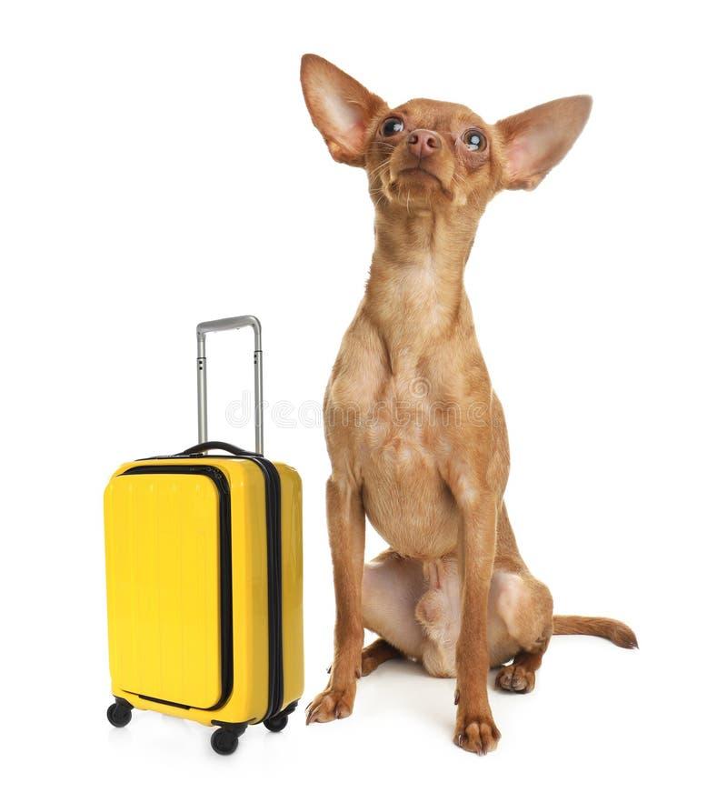 Gullig leksakterrier p? vit hemhj?lp kazakhstan f?r sk?llalandshund fotografering för bildbyråer