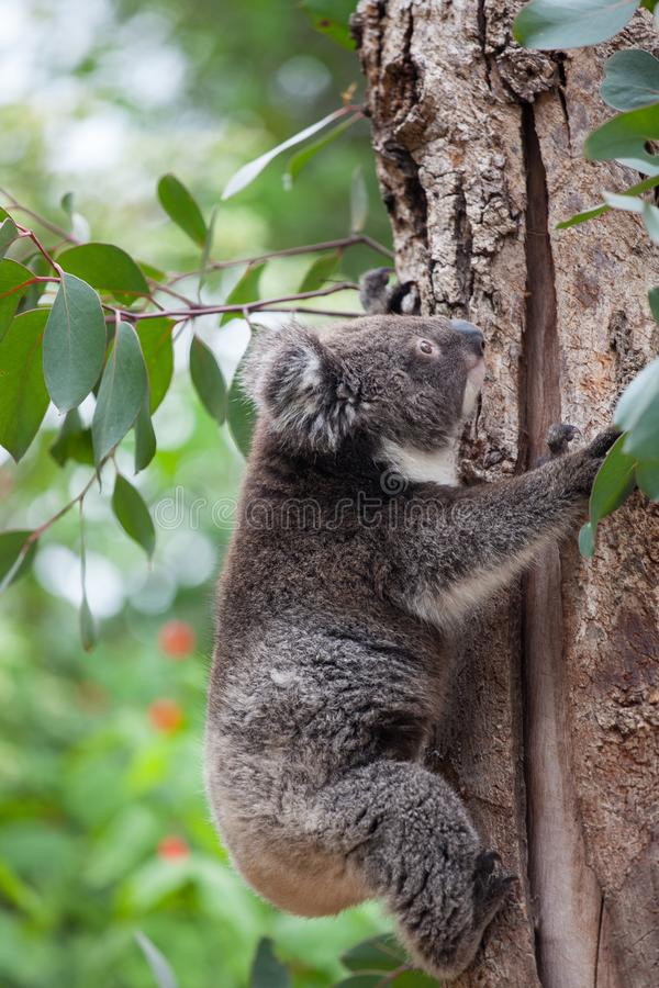 Gullig liten australisk koala för stående som klättrar i ett eukalyptusträd och ser med kuriositet K?nguru? royaltyfri fotografi