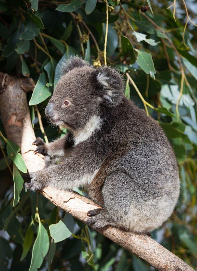 Gullig liten australisk koala för stående som sitter i ett eukalyptusträd och ser med kuriositet Känguruö arkivbilder