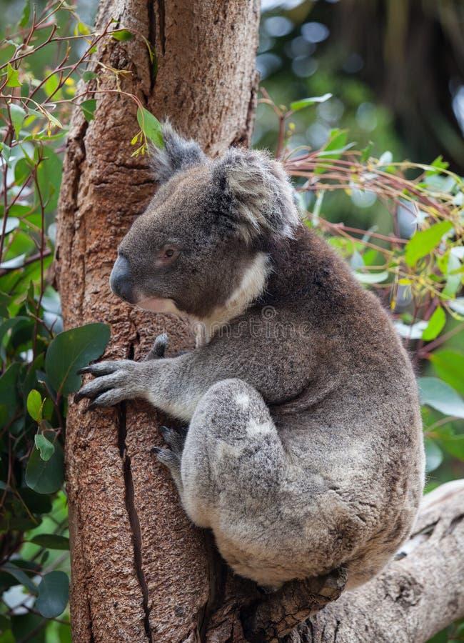 Gullig liten australisk koala f?r st?ende som kl?ttrar i ett eukalyptustr?d och ser med kuriositet K?nguru? royaltyfri bild