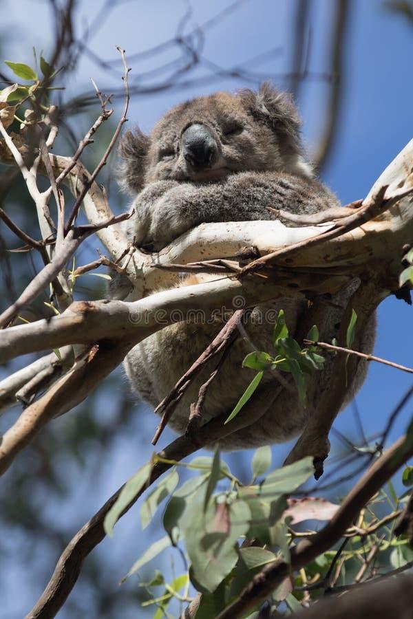 Gullig liten australisk koala som sover mellan filialer av ett eukalyptusträd Känguruö arkivbild