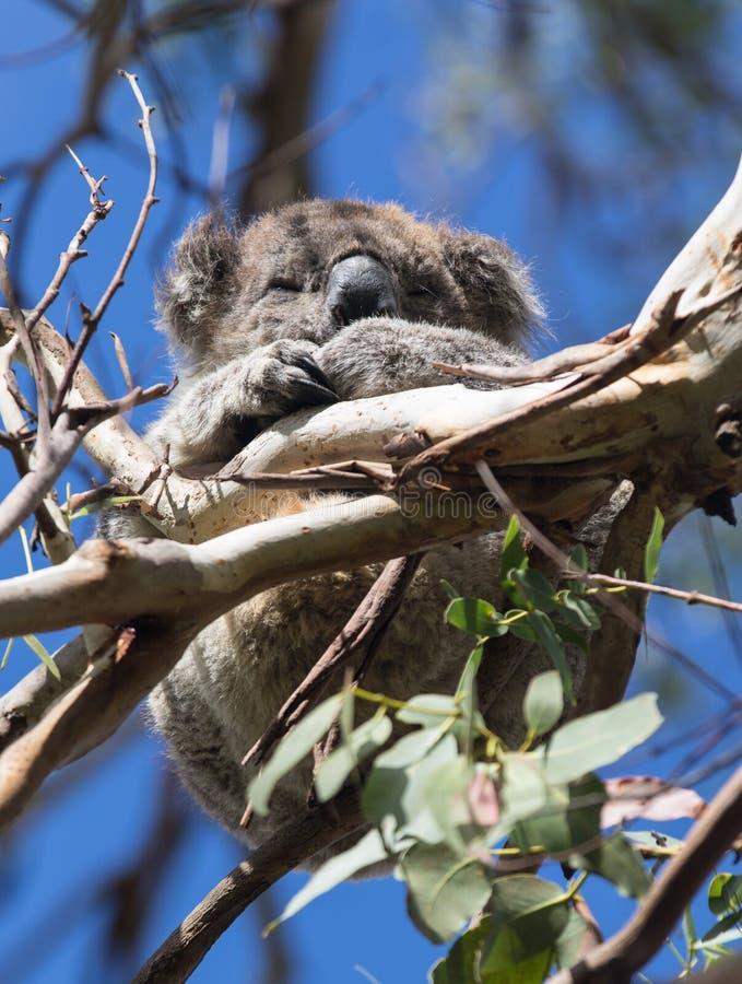 Gullig liten australisk koala som sover mellan filialer av ett eukalyptusträd Känguruö royaltyfri bild