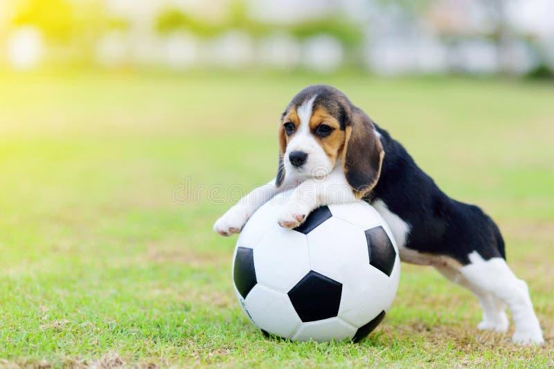Gullig liten beagle med fotboll fotografering för bildbyråer