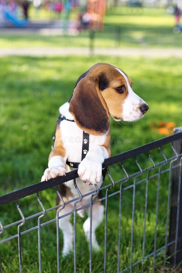 Gullig liten beaglevalp i parkera royaltyfria foton