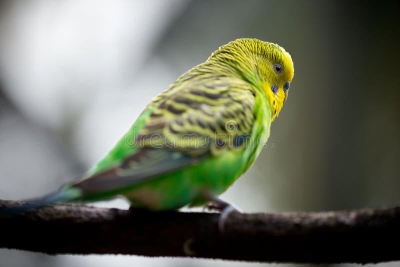 Gullig liten Budgie fågel fotografering för bildbyråer