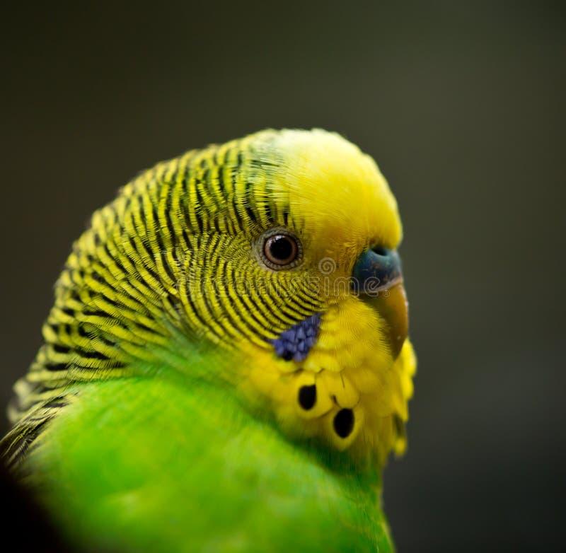 Gullig liten Budgie fågel arkivfoton