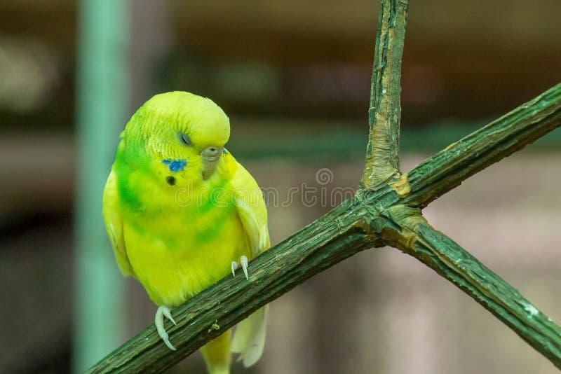 Gullig liten citron för undulatus för papegojaundulatMelopsittacus som sover på en filialnärbildstående av en ljus fågel royaltyfri fotografi