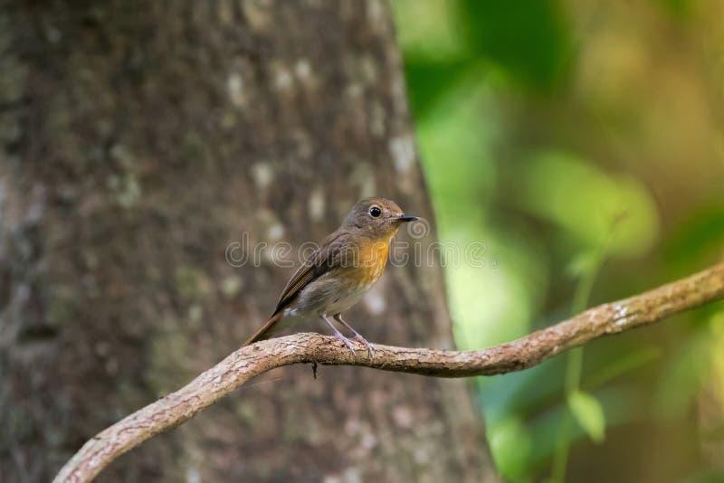 Gullig liten fågel för flugsnappare för blått för kvinnligTickell ` s i brun yello fotografering för bildbyråer