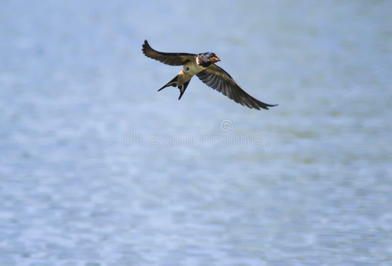 Gullig liten fågelsvala som svävar i den blåa himlen över dammet royaltyfria bilder