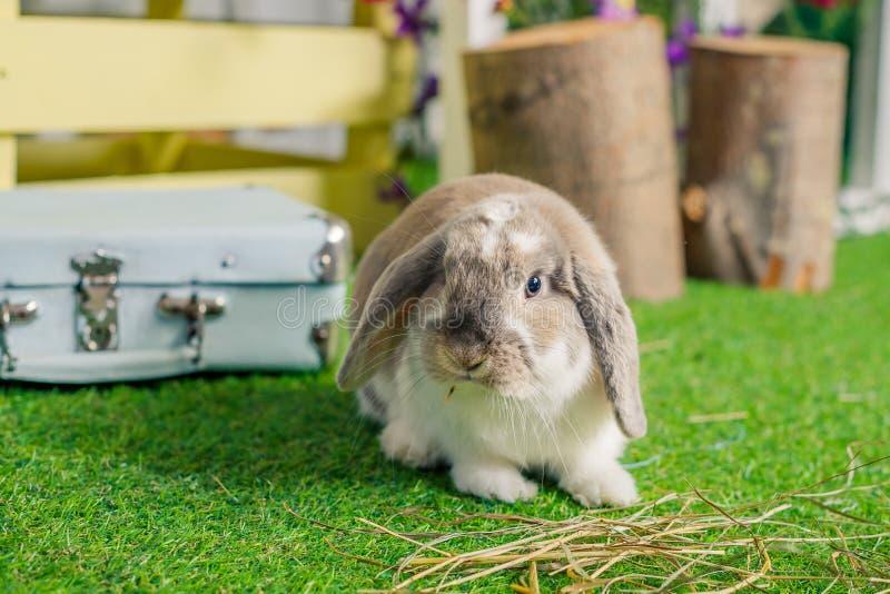 Gullig liten fluffig vit beskär gå i ax kaninkanin som sitter på gräs symboliskt av påsk och vårsäsongen Vår arkivbild
