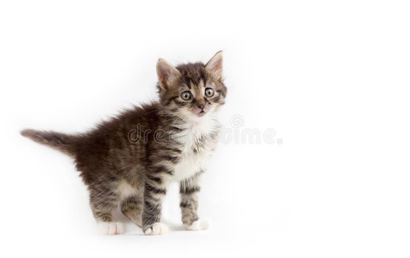 Gullig liten grå fluffig kattunge som isoleras på vit bakgrund arkivbilder