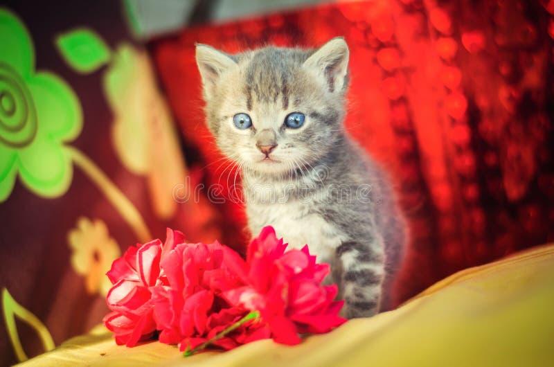Gullig liten grå kattunge med blåa ögon husdjur arkivbild
