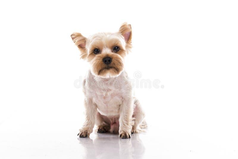 Gullig liten hund på en vit bakgrund royaltyfria bilder