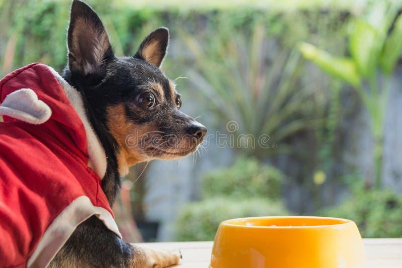 Gullig liten hund som äter med bunken av hundmat Husdjur matar lurar arkivbilder