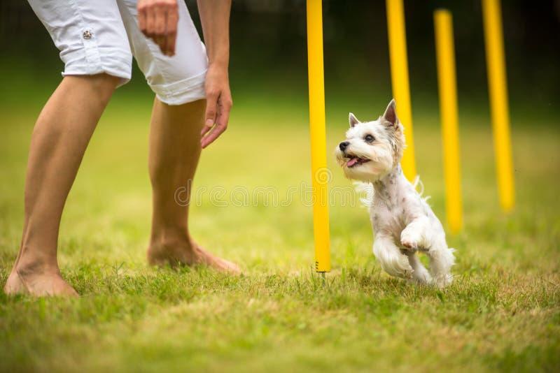 Gullig liten hund som gör vighetdrillborren - körande slalom arkivbild