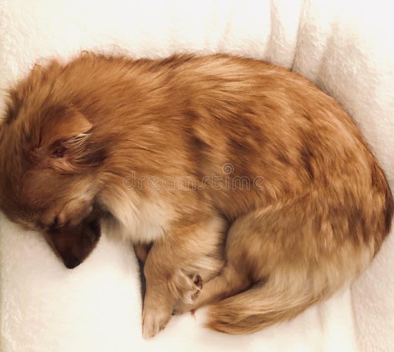Gullig liten hund som sover på en kudde arkivbild