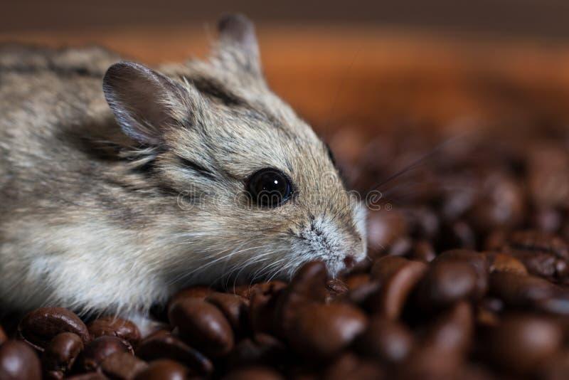 Gullig liten mus som tillsammans med sitter bönor för ett kaffe royaltyfri bild