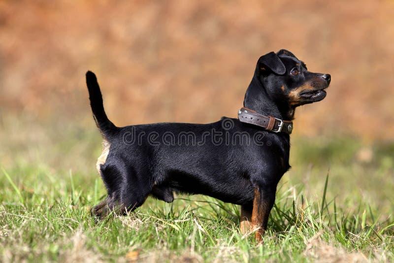 Gullig liten pinscherhund på äng utanför arkivbild