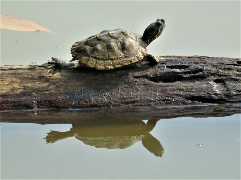 Gullig liten sköldpadda som kopplar av på en trädstam i en sjöträdgård arkivbilder