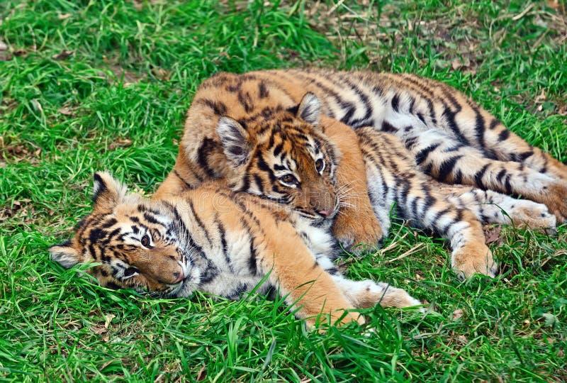Gullig liten tiger fotografering för bildbyråer