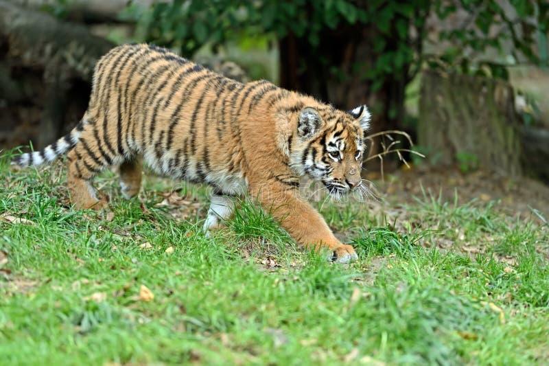 Gullig liten tiger royaltyfri bild
