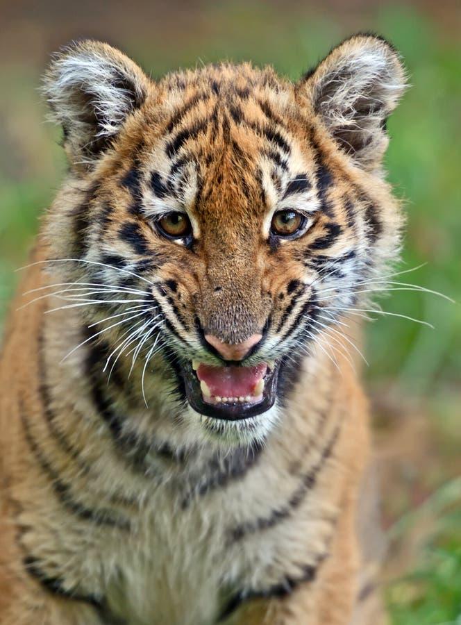 gullig liten tiger arkivfoto